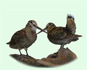 Øvrige fugle